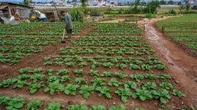 18, febrero 2017 - el granjero toma cuidado de la granja de la col de China en Dalat- Lamdong, Vietnam Imagen de archivo libre de regalías