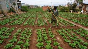 18, febrero 2017 - el granjero toma cuidado de la granja de la col de China en Dalat- Lamdong, Vietnam Fotos de archivo libres de regalías