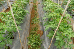 22, febrero 2017 plantas de tomate de Dalat- en casa verde, tomates frescos Fotografía de archivo