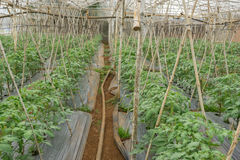 22, febrero 2017 plantas de tomate de Dalat- en casa verde, tomates frescos Imagen de archivo libre de regalías