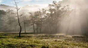 18, febrero 2017 - rayos en el bosque Dalat- Lamdong, Vietnam del pino Imágenes de archivo libres de regalías