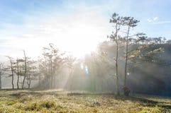 18, febrero 2017 - rayos en el bosque Dalat- Lamdong, Vietnam del pino Imagenes de archivo