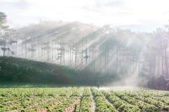 18, febrero 2017 - Rayos y la granja de la fresa Dalat- Lamdong, Vietnam Imagenes de archivo