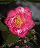 febrila Regnig dag Camelia Bloom royaltyfria bilder