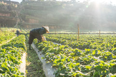 10, Februari 2017 Dalat- de Vietnamese oude vrouw die de aardbei op hun landbouwbedrijf oogsten, onder het zonlicht, stralen bij  Stock Fotografie