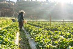 10, Februari 2017 Dalat- de Vietnamese oude vrouw die de aardbei op hun landbouwbedrijf oogsten, onder het zonlicht, stralen bij  Stock Afbeelding