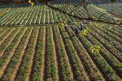 10, Februari 2017 Dalat- Drie het oogsten van wijfjesfamer aardbei in het morrning, Rij van aardbei Royalty-vrije Stock Afbeeldingen