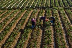 10, Februari 2017 Dalat- Drie het oogsten van wijfjesfamer aardbei in het morrning, Rij van aardbei Stock Foto's