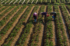 10, Februari 2017 Dalat- Drie het oogsten van wijfjesfamer aardbei in het morrning, Rij van aardbei Royalty-vrije Stock Fotografie