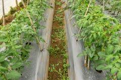 22 Februari 2017 Dalat- tomatväxter i grönt hus, nya tomater, rad av tomaten arkivbilder