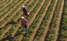 10, Februari 2017 Dalat- Twee het oogsten van wijfjesfamer aardbei in het morrning, Rij van aardbei Stock Afbeelding