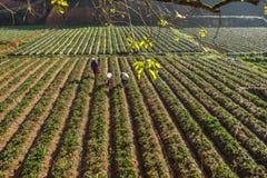 10, Februari 2017 Dalat- Twee het oogsten van wijfjesfamer aardbei in het morrning, Rij van aardbei Stock Fotografie
