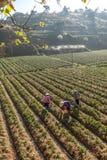 10, Februari 2017 Dalat- Twee het oogsten van wijfjesfamer aardbei in het morrning, Rij van aardbei Stock Foto's