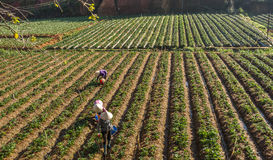 10, Februari 2017 Dalat- Twee het oogsten van wijfjesfamer aardbei in het morrning, Rij van aardbei Royalty-vrije Stock Fotografie