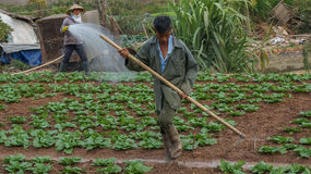 18, Februari 2017 - de landbouwer behandelt Chinese koollandbouwbedrijf in Dalat- Lamdong, Vietnam Stock Afbeelding