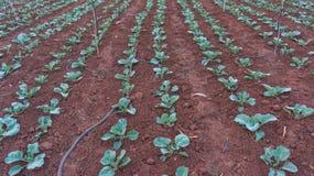 10, Februari 2017 de landbouwers van Dalat- Dalat planten de kolen in DonDuong- Lamdong, Vietnam Royalty-vrije Stock Foto