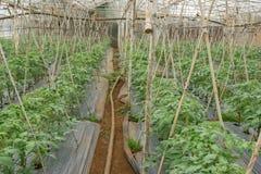 22, Februari 2017 de tomatenplanten van Dalat- in groen huis, verse tomaten Royalty-vrije Stock Afbeelding