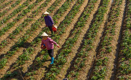 10 Februari Jordgubbe 2017 för Dalat- två kvinnligFamer plockning, i morrning, rad av jordgubben Fotografering för Bildbyråer