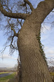 February ash tree Royalty Free Stock Photo
