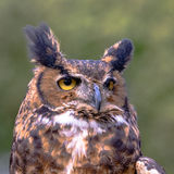 February 21, 2016: Close up of face of a Great Horned Owl at the Royalty Free Stock Image
