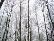 February grove in fog Royalty Free Stock Photography