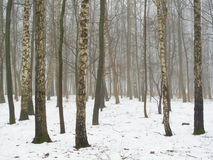 February grove in fog and snow Royalty Free Stock Image