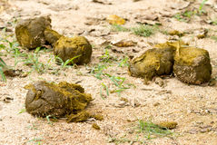 Feces of elephant Royalty Free Stock Image
