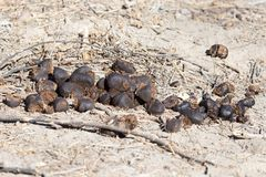 Feces of horses. Feces of horses eating grass on the ground.  Royalty Free Stock Images