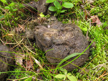 The feces of wild bears in the woods. Are composed of herbal fibres Stock Images