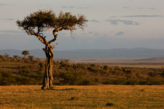 Fecha del desierto Imagenes de archivo