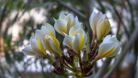 Fechado acima da flor branca do plumeria imagens de stock