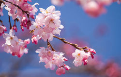 Flor de cerejeira imagens de stock