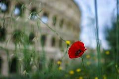 Fechado acima da flor vermelha da papoila com o Colosseum borrado na parte traseira fotografia de stock
