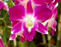 Fechado acima das flores da orquídea Foto de Stock