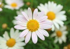 Fechado acima de Pale Pink Daisy Flower com as margaridas brancas borradas no fundo fotografia de stock royalty free