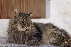 Fechado acima do gatinho cinzento preto adorável doméstico de Maine Coon, você foto de stock