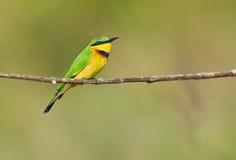 Fechar-UO de uma jóia: Pouco Bee-eater Imagem de Stock