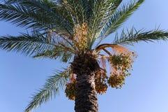 Fechas en una palmera Fotografía de archivo libre de regalías