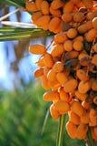 Fechas, frutas de la palmera Foto de archivo