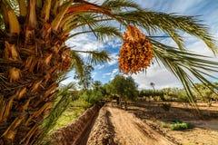 Fechas maduras en una palmera en Palmeraie, Marruecos Foto de archivo libre de regalías