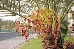 Fechas rojas hermosas del kimri Fotografía de archivo libre de regalías