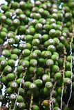 Fechas verdes de la palma imagen de archivo libre de regalías