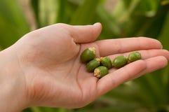 Fechas verdes inmaduras caidas en la mano en fondo borroso foto de archivo libre de regalías