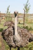 Feche acima acima da avestruz imagens de stock