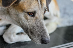 Feche acima, cara do cão que encontra-se no assoalho Imagens de Stock Royalty Free
