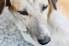 Feche acima, cara do cão que encontra-se no assoalho Fotografia de Stock