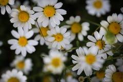 Feche acima com as flores brancas e amarelas selvagens Imagem de Stock Royalty Free