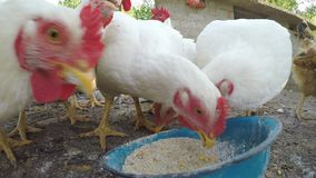 Feche acima com as galinhas que comem grões no campo - video estoque