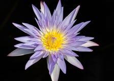 Feche acima da água lilly Imagem de Stock Royalty Free