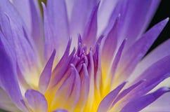Feche acima da água lilly Imagem de Stock